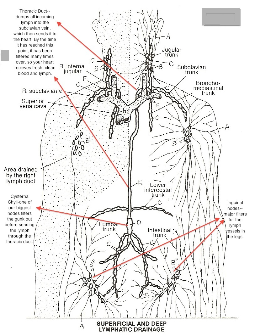 lymphatic system A lymphatic obstruction is a blockage in the lymphatic system the lymphatic system is made up of lymph nodes and vessels that drain fluids from your body's tissues.